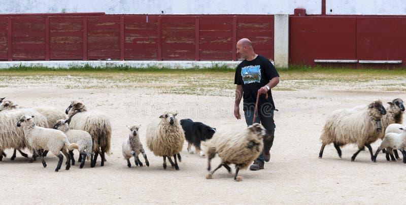 Табунить овец собаки работая стоковые фотографии rf