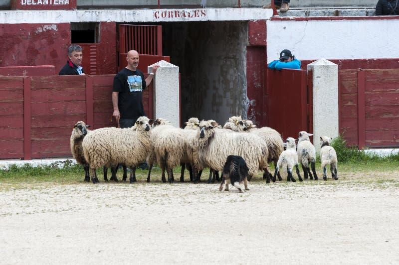 Табунить овец собаки работая стоковая фотография rf