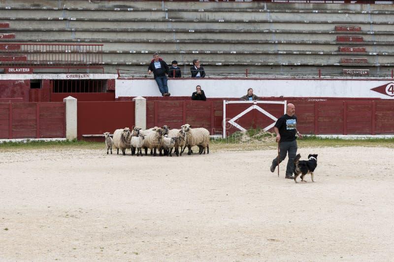 Табунить овец собаки работая стоковые изображения rf