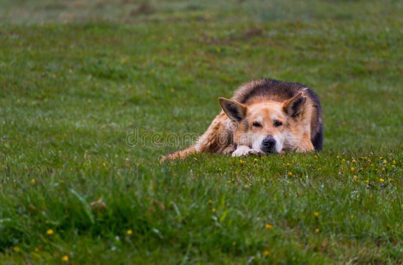 табунить собаки стоковое изображение