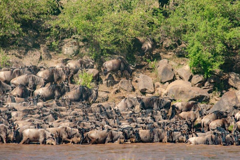 Табун антилопы гну воюя для того чтобы пересечь Нил во время его миграция антилопы гну стоковая фотография rf