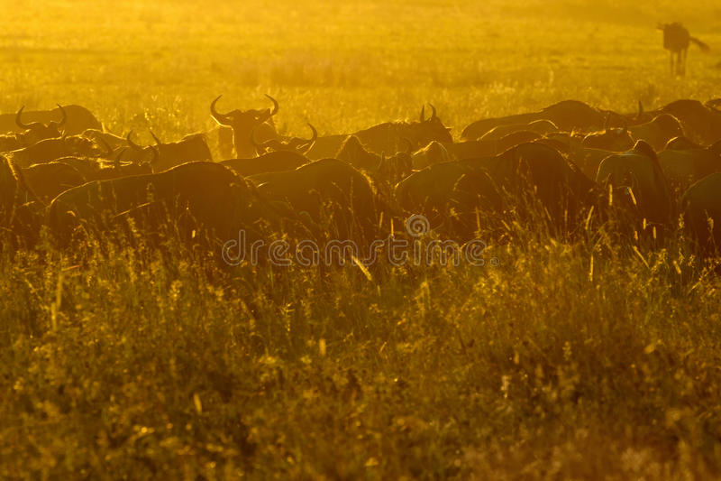 Табун антилоп гну пася стоковая фотография rf