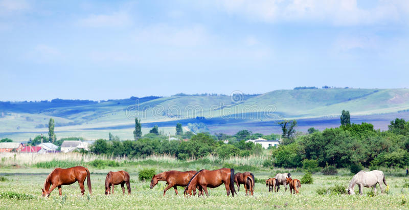 Табун аравийских лошадей на выгоне стоковая фотография