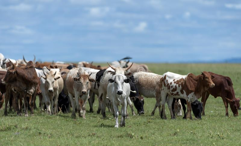 Табун африканских скотин пася на равнинах Mara Masai стоковое фото rf