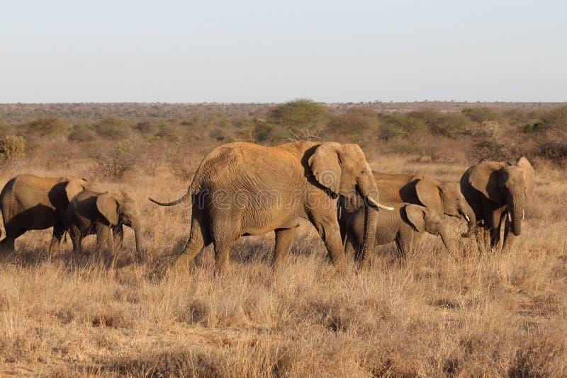 табун африканских слонов стоковые фотографии rf