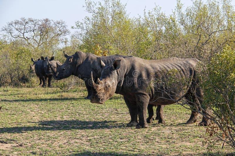 Табун белого носорога в африканском кусте стоковые фотографии rf