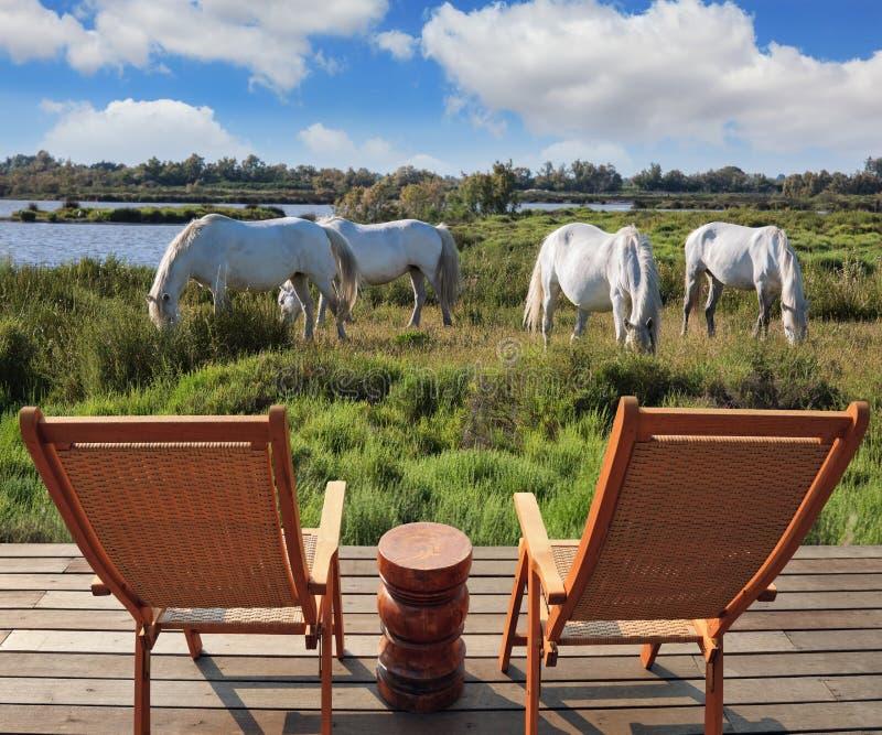 Табун белых лошадей в парке Camargue стоковое изображение rf
