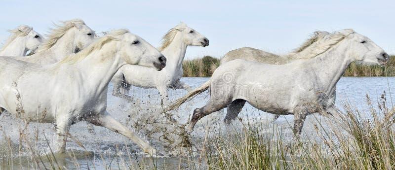 Табун белых лошадей Camargue бежать через воду стоковое фото rf
