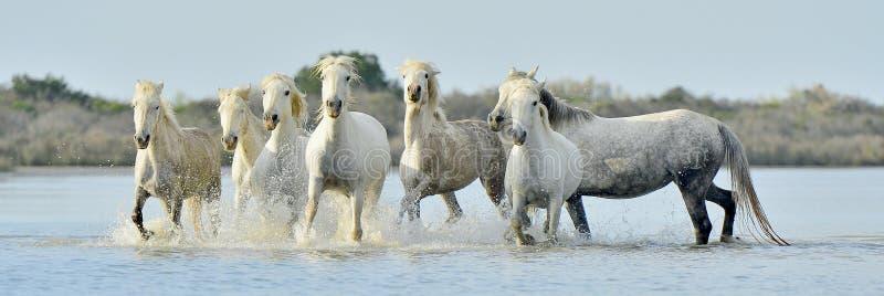 Табун белых лошадей Camargue бежать через воду стоковое изображение
