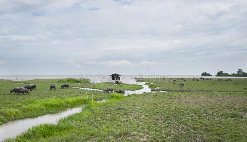 Табун буйвола в национальном парке Природа ландшафта для backgroun стоковое изображение rf