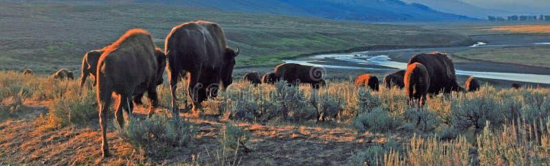 Табун буйвола бизона в свете раннего утра в долине Lamar национального парка Йеллоустона в Wyoiming стоковые фото