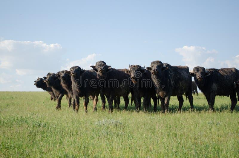 Табун буйвола в поле стоковая фотография