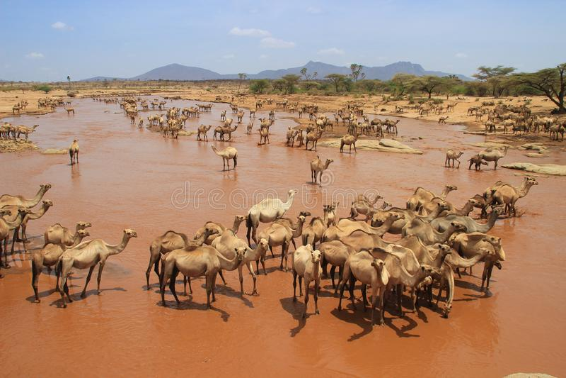 Табун верблюдов охлаждает в реке на горячий летний день Кения, Эфиопия стоковые фотографии rf