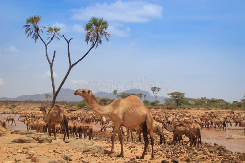 Табун верблюдов охлаждает в реке на горячий летний день Кения, Эфиопия стоковая фотография