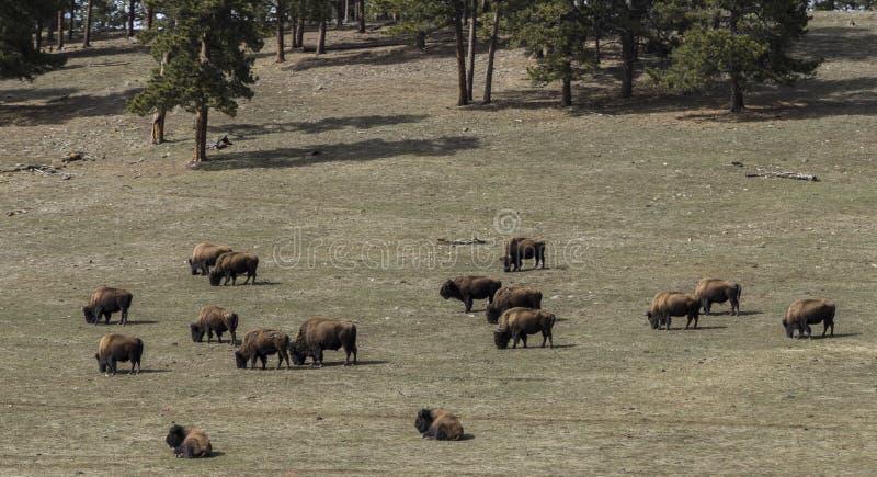 Табун дикого буйвола пася в поле весной приурочивает стоковые фотографии rf