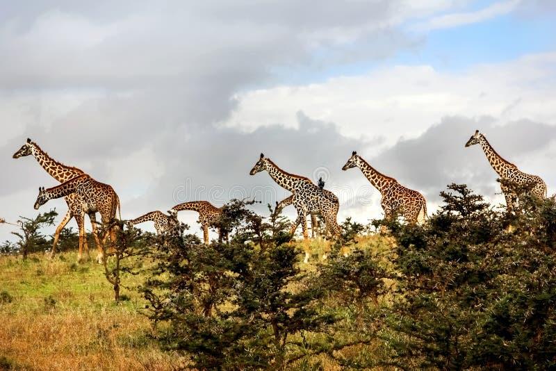 Табун жирафов в африканской саванне Соотечественник Serengeti стоковое изображение rf
