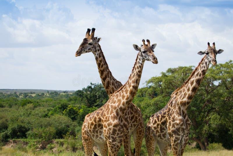 Табун жирафов на африканской саванне стоковые изображения rf