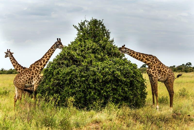 Табун жирафов стоковые изображения