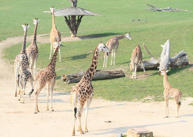 Табун жирафов стоковые изображения rf