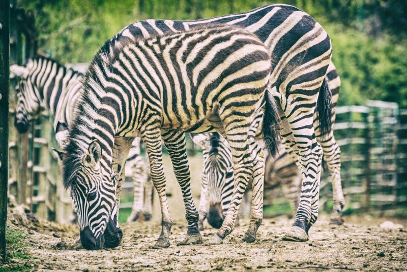 Табун зебры Чэпмена, сетноого-аналогов фильтра стоковые изображения rf