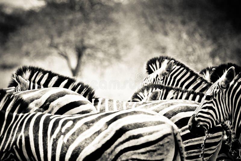Табун зебры стоковые фото