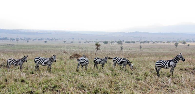 Табун зебры стоковые фотографии rf