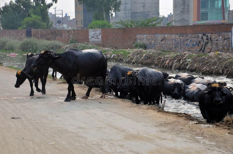 Табун индийских буйволов вытекает от канала Лахора Пакистана стоковые изображения