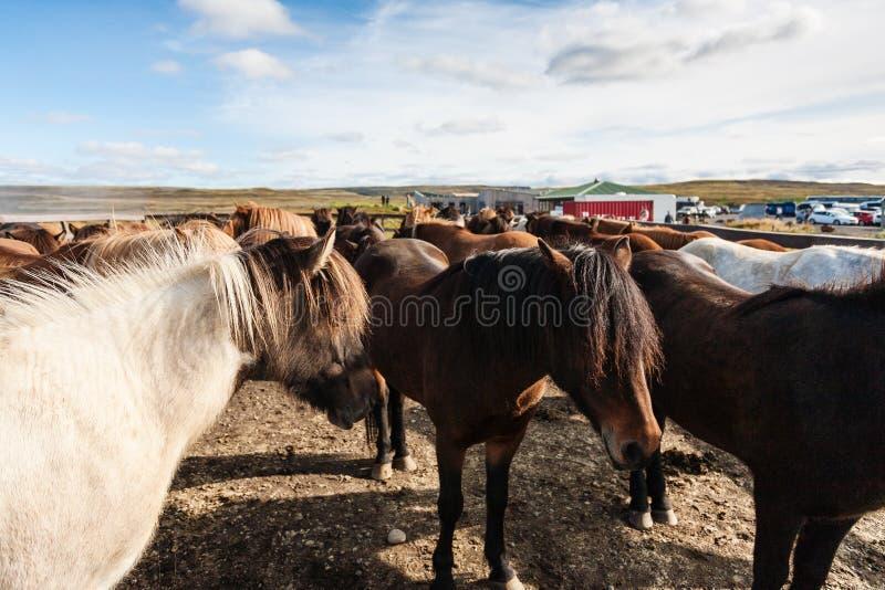 табун исландских пони на поле в сентябре стоковое изображение rf