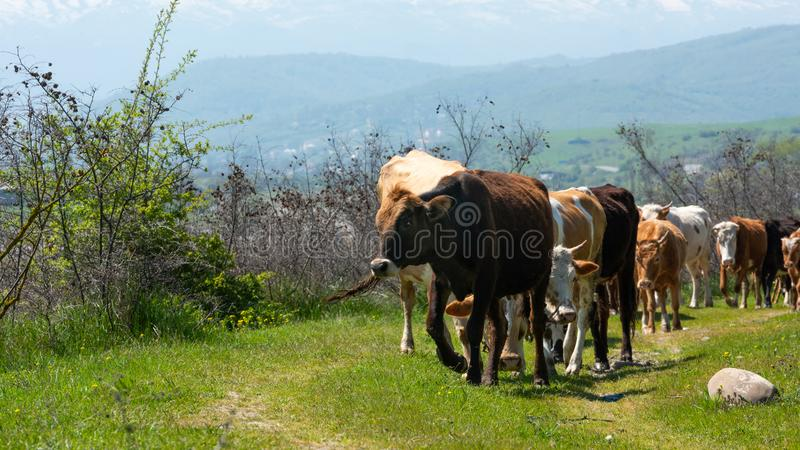 Табун конца-вверх коров стоковая фотография