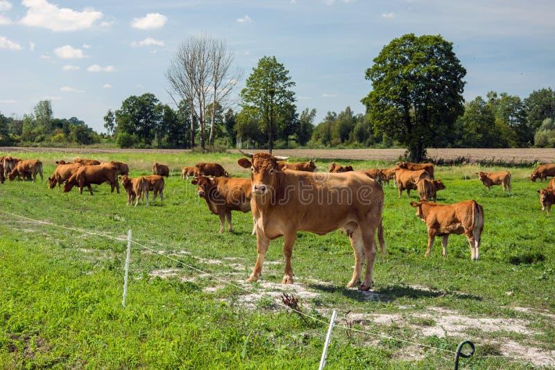 Табун коров в выгоне стоковое изображение rf