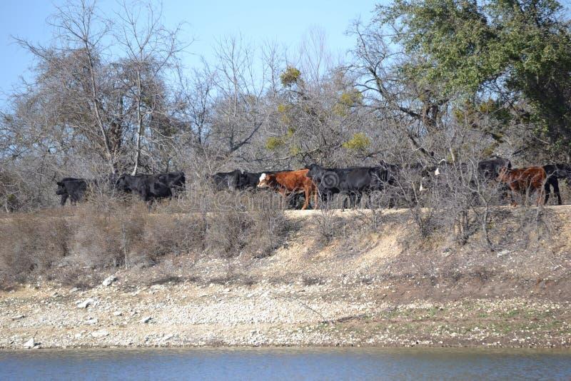 Табун коров говядины пересекая запруду озера стоковые фотографии rf