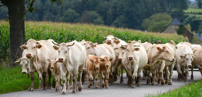 Табун коров и телятины в Пиренеи стоковые фотографии rf