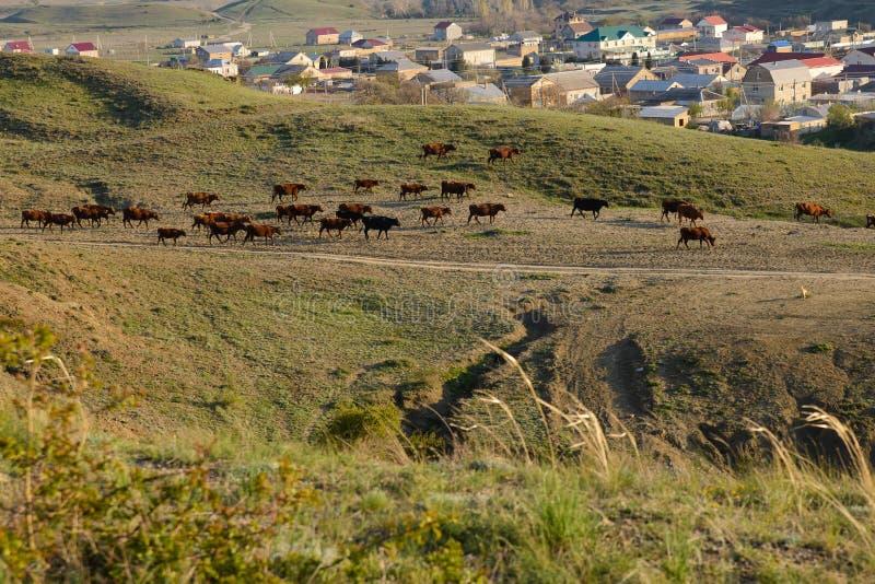 Табун коров коричневого цвета идет вдоль наклона горы в стоковое фото