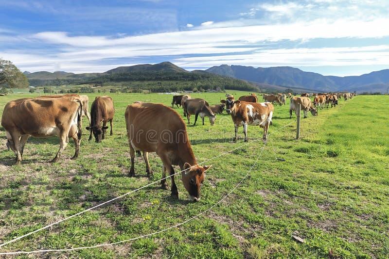 Табун коров наслаждается зеленой травой kikuju стоковые изображения rf