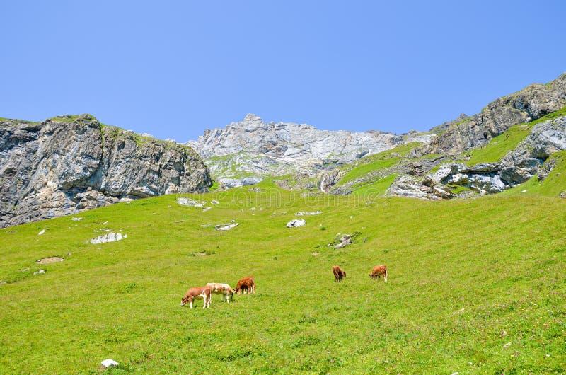 Табун коров на выгоне в Альп Высокогорный ландшафт в сезоне лета Зеленые луга на холмах окруженных утесами и горами стоковая фотография