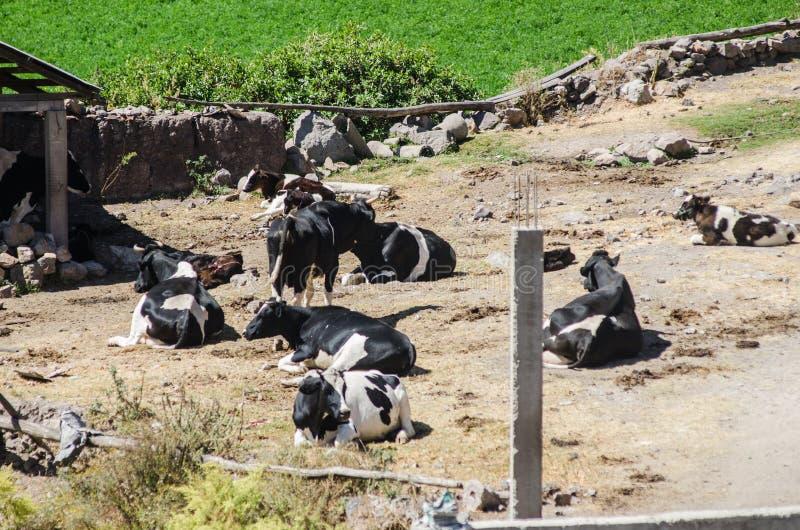 Табун коров на поле зеленого цвета лета стоковые изображения rf
