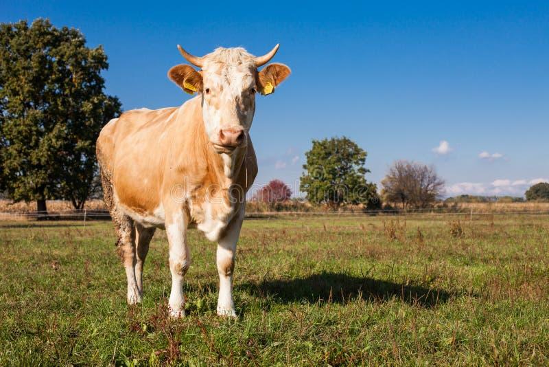 Табун коров на поле зеленого цвета лета стоковые фотографии rf