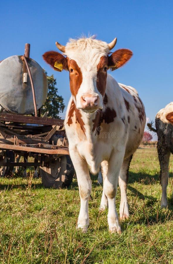 Табун коров на поле зеленого цвета лета стоковое изображение rf