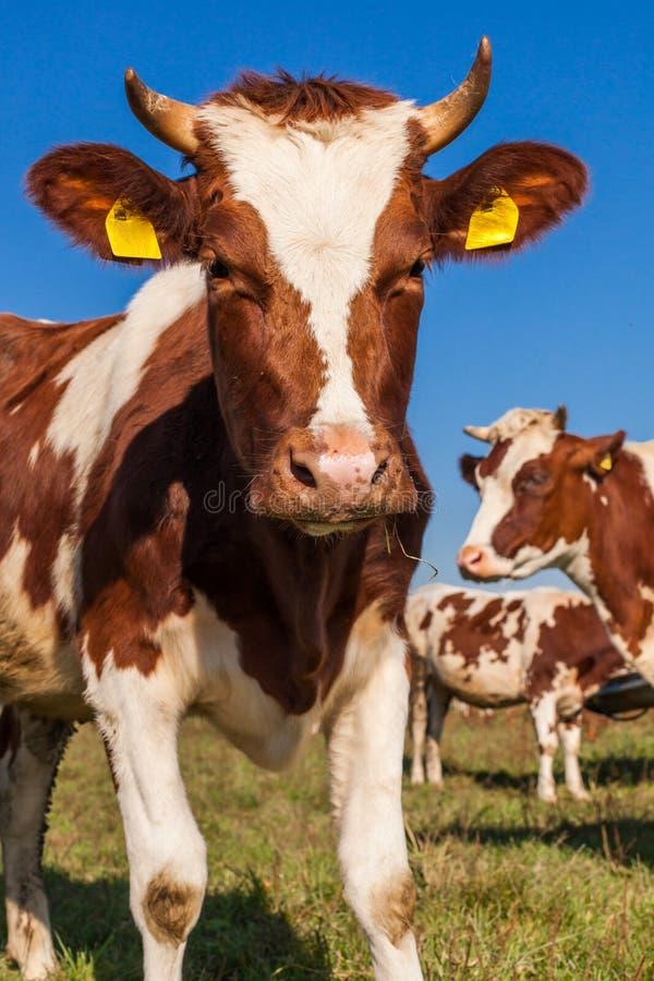 Табун коров на поле зеленого цвета лета стоковая фотография rf