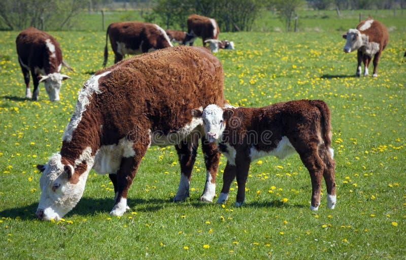 Табун коров на поле зеленого цвета лета стоковое изображение