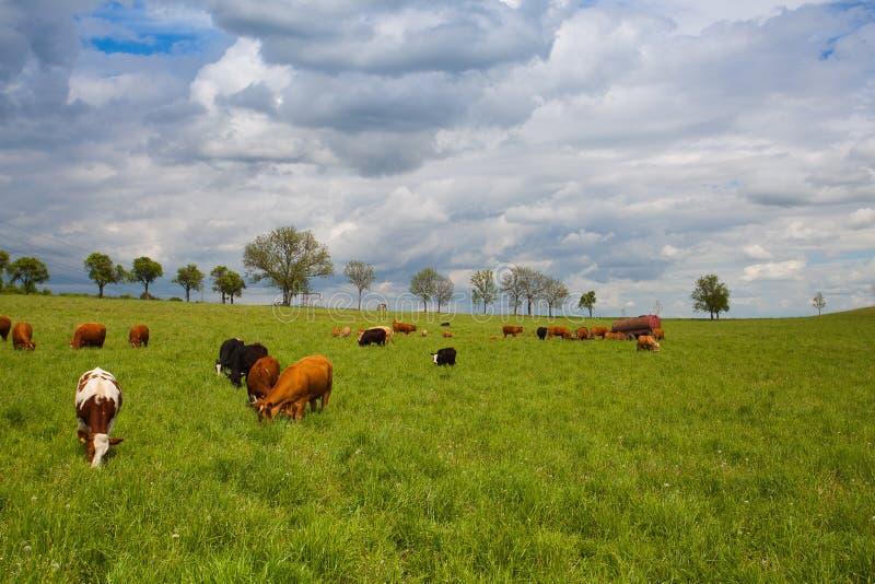 Табун коров на луге весны стоковое фото