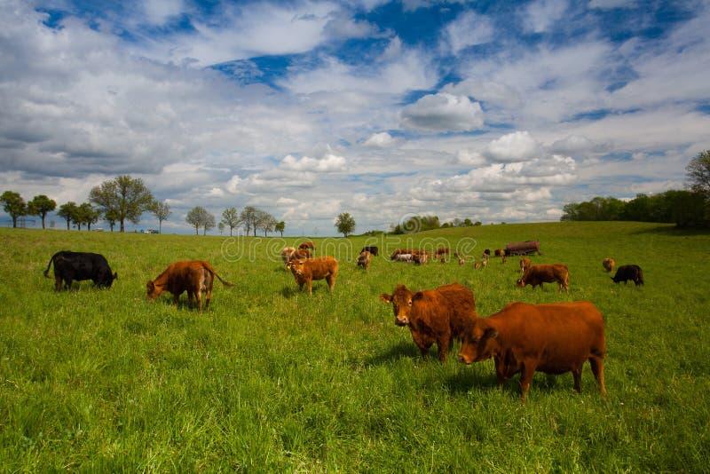 Табун коров на луге весны стоковая фотография rf