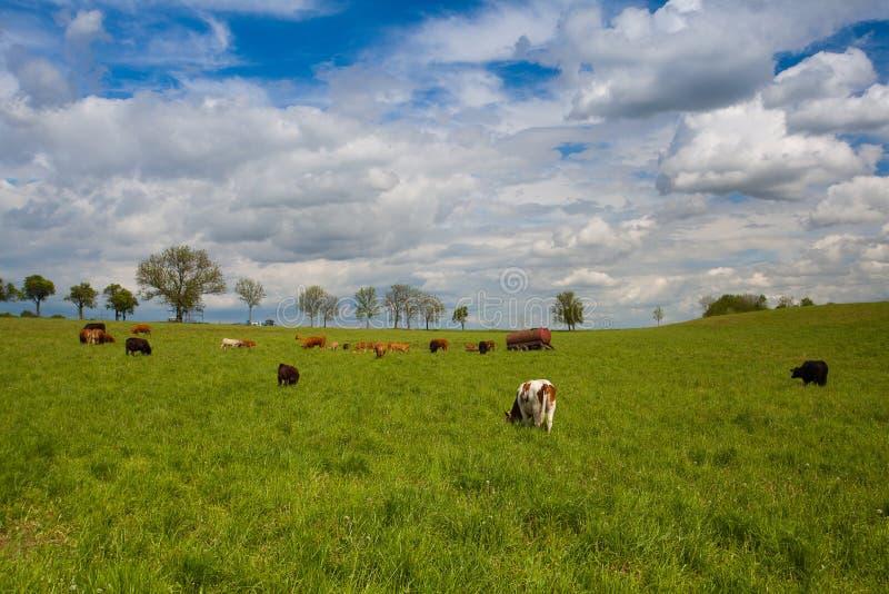 Табун коров на луге весны стоковая фотография