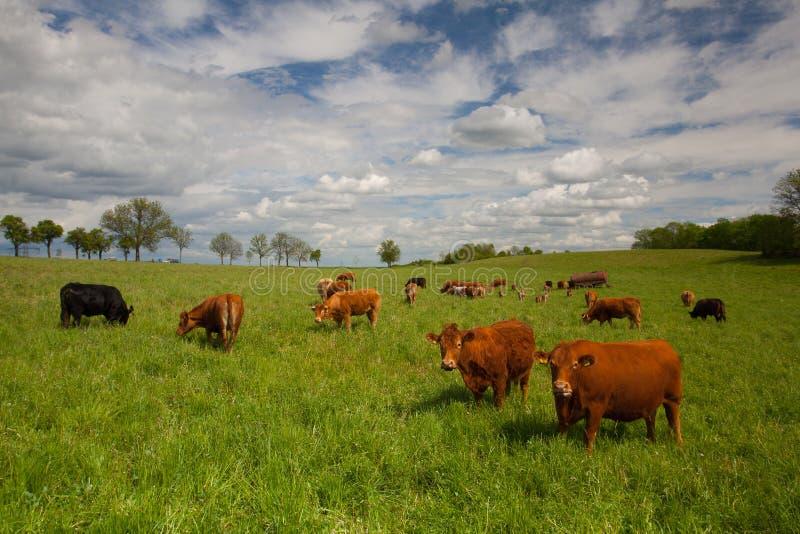Табун коров на луге весны стоковые фотографии rf