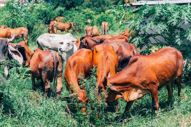 Табун коров пася на поле зеленого цвета лета стоковые фотографии rf