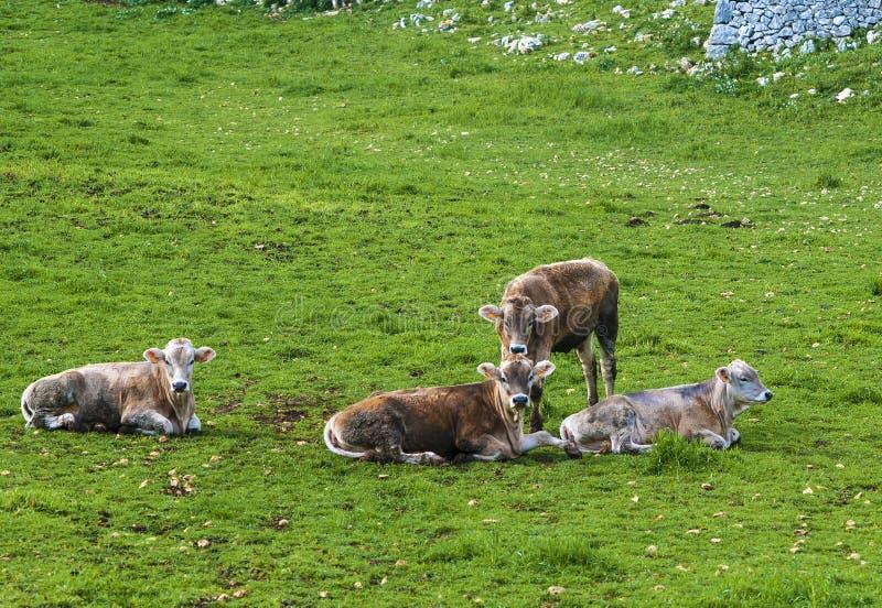 Табун коров пася на поле зеленого цвета лета стоковое изображение rf