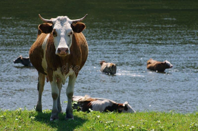Табун коров пася на поле зеленого цвета лета стоковые изображения rf