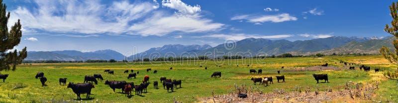 Табун коров пася совместно в сработанности в сельской ферме в Heber, Юте вдоль задней части гор Уосата передних скалистых стоковые фото