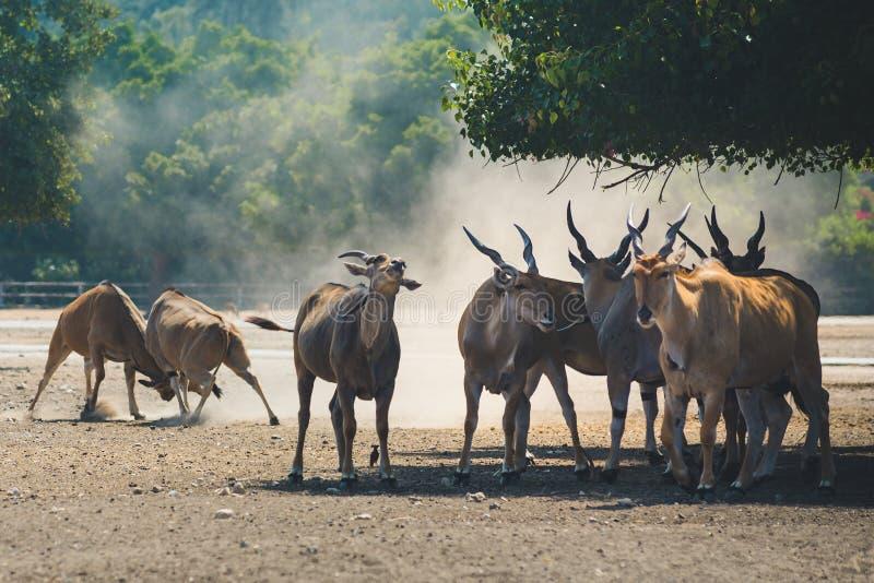 Табун красивых больших восточных антилоп бонго стоковая фотография rf