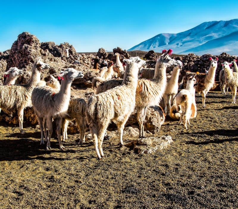 Табун ламов пася на боливийском altiplano на предпосылке пышных вулканов Отечественный лам Милые животные стоковые изображения rf